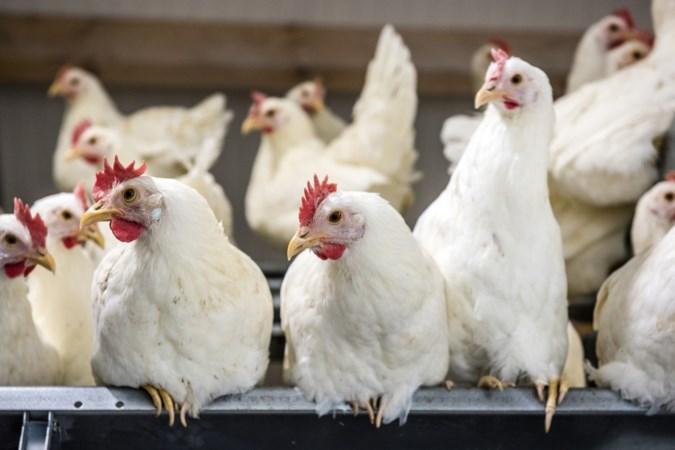 Horst aan de Maas kan niet genoeg personeel krijgen voor controles bij intensieve veehouderijen