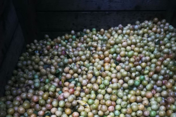 Race tegen de klok voor fruitteler in Baarlo: op zoek naar afnemer voor 70.000 kilo mirabellen