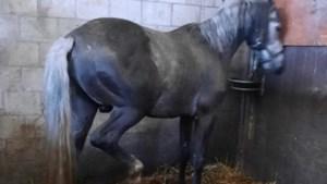 Dierenbescherming grijpt opnieuw in: ook laatste paarden weggehaald uit stallen in Venlo