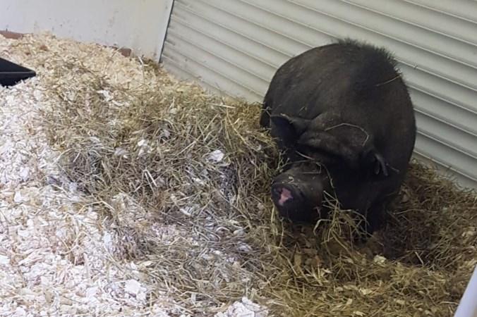 Blind varken Oscar mag bij drugspand verzorgd worden