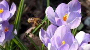 Sittard-Geleen wordt 'zoemvriendelijk', PVV-voorstel voor 'bijenoase' valt in goede aarde