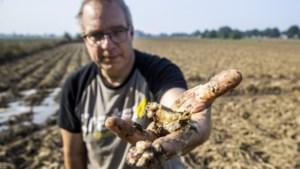Zorgen om aardappeloogst door schimmelvrees en nat weer