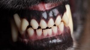 Vrouw uit Roermond mag voorlopig geen honden meer houden, nu Bully meermaals ontsnapte en mensen aanviel