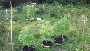Kleine hennepplantage met wietplanten naast snelweg A76 ontmanteld