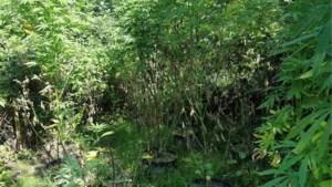 Voorbijgangers ontdekken twee meter hoge wietplanten in Bunderbos