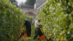 Limburgse wijnproducenten over kwaliteit druivenoogst: 'Hier hosanna, daar diepe ellende'
