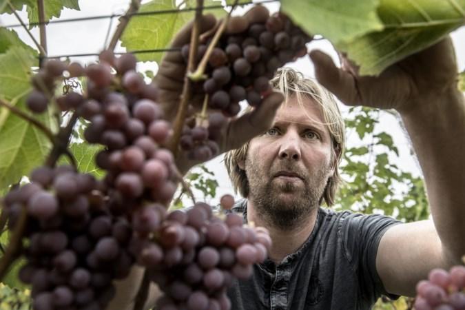 Limburgse wijnen scoren goed tijdens Wijnkeuring: acht keer goud St. Martinus Vijlen