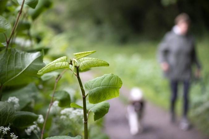 Venlo gaat de strijd aan met beruchte Japanse duizendknoop