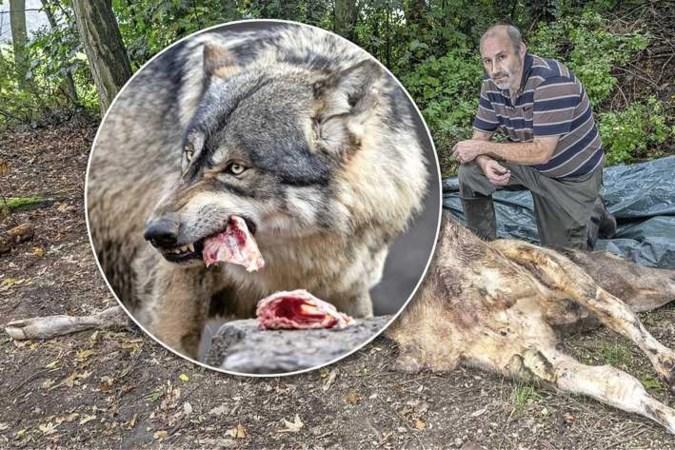 Belgisch-Limburgs dorp in de ban van wolven: 'Straks nemen ze een mens te grazen'