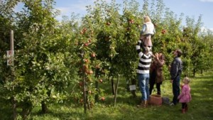 Appels plukken in dorpsboomgaard in Wessem