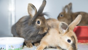 Dier van de week: van lief schootkonijn tot uit de kluiten gewassen deugniet: zo'n twintig babykonijnen zoeken een nieuw baasje