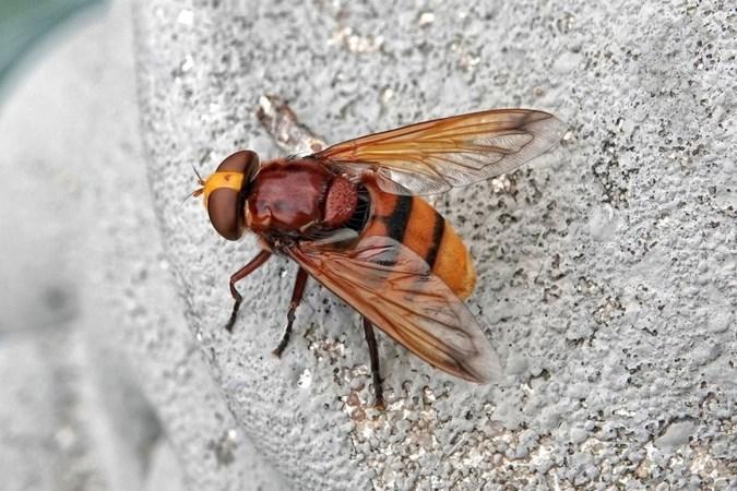Een reus uit de natuur op bezoek: een zweefvlieg maatje XXXL