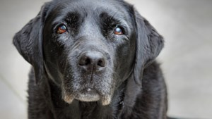 Na jaren trouwe dienst krijgt de bejaarde hulphond Onyx het ultieme pensioen bij deze Limburgse baasjes