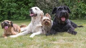 Hond is melkkoe in Roermond; afschaffen hondenbelasting vooralsnog niet aan de orde