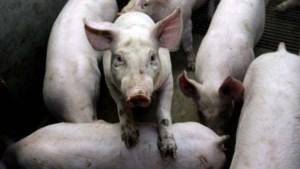 Minder varkensboeren, maar nauwelijks minder varkens