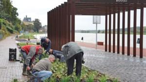 Vrijwilligers en hovenier zorgen voor groene Maasboulevard in Kessel