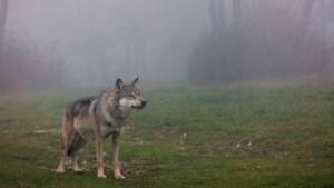 Webinar voor kinderen over de wolf in Limburg