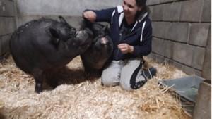 Happy end voor zwaar mishandelde hangbuikzwijntjes Bertje en Lola