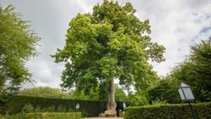 Maasniel troeft Rotterdam af: 'Boom van het Jaar' staat in de tuin van Maarten en Nathalie