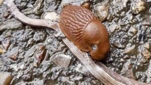 De slak en de hazelworm: soms wordt 'eten of gegeten worden' ineens erg letterlijk