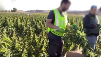 Video: grootste wietplantage in Europa ontdekt