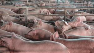Ook in België gaan stemmen op om de veestapel in te krimpen