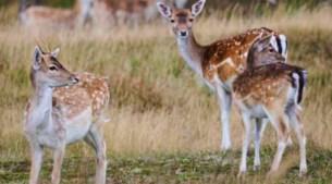 Tien damherten doodgebeten in dierenpark Hengelhoef: 'Het was een echt bloedbad'