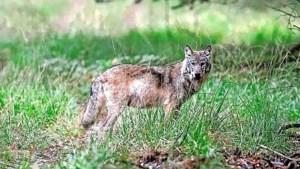 Commentaar: We willen de wolf graag terug omdat het een wild dier is, maar hij moet zich wel gedragen en niet te veel schade aanrichten