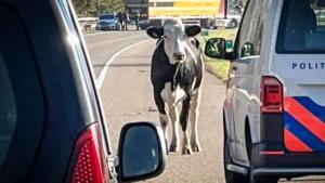 Drachtige koe afgeschoten na verwonden vrouw en veroorzaken file op autoweg